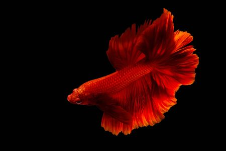 Red siamese betta fighting fish isolated on black background.