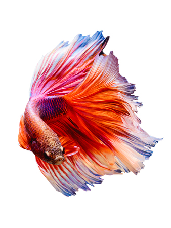 Red Siamese Betta fighting fish Half moon flip body isolated on white background. Vertical art image for smartphone background or advertisement.