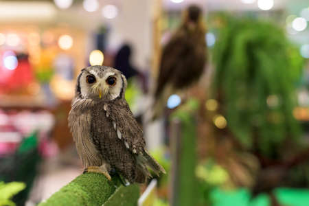 Owl looking portrait with blur bokeh background