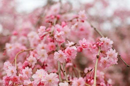 Spring pink Cherry blossoms or sakura full bloom Stock Photo