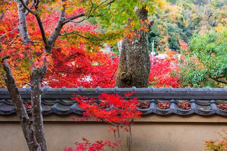 red carpet background: Fall foliage colorful leafs surrounding old tree trunk in Adashino Nenbutsuji temple at autumn season, Arashiyama, Kyoto, Japan