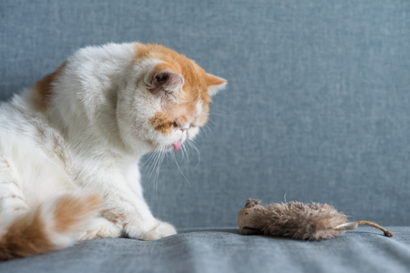 Cute Brown Exotic shorthair cat look at fake or artificial mouse or rat on gray sofa bed with copy space for text. Funny animal in house or condo. Human best friend. Banque d'images - 108473401