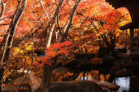 Koko-en Garden with red maple trees touching sunlight in autumn at Himeji, Hyogo Prefecture, Japan. Here is located next to Himeji Castle.