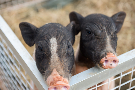 Portrait adorable two piglet or pigs in shed with dried grass or straw of farm. Cute animal waiting for food. Agriculture industry.