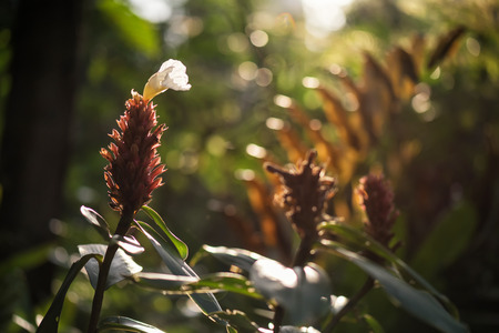 Indian Head red Ginger flower or Zingiberales in wild forest at sunrise with greenery bokeh background during summer or spring season. Travel in jungle.