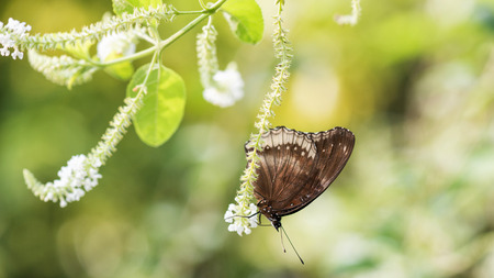 Black Eggfly butterfly stand on white flower plant with soft green blur bokeh background. Wild animal in spring greenery with copy space for text.