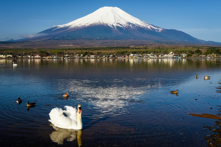 White swan floating on Yamanaka lake with Mount Fuji view, Yamanashi, Japan. Here, 1 of 5 Mt. Fuji lakes, is the closest with beautiful swans. wildlife look at camera.