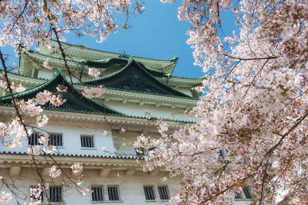 Nagoya Castle surrounged by frame of pink sakura or cherry blossom full bloom in spring season against blue sky, Chubu, Japan. 報道画像