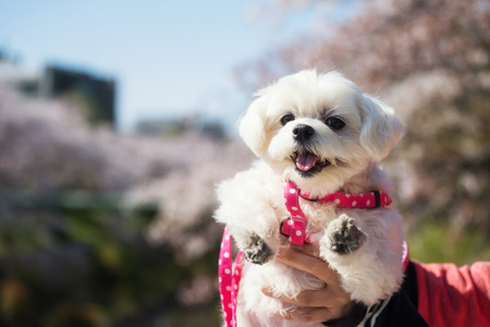 Portrait of cute white Morkie half Maltese dog with cherry blossom or sakura bokeh background at Yamazaki River, Nagoya, Japan. Adorable puppy pet at spring. 免版税图像