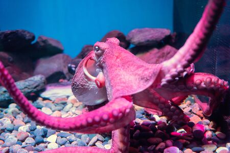Red giant octopus sleep and float on rock and sea water in aquarium. Aqua animal decorated in theme park