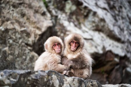 baby snow monkeys sit and cuddle on mountain to prevent cold weather