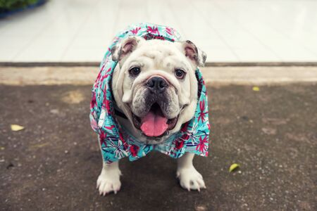 portrait of cute purebred french bulldog with blue summer hawaii beach dress. Adorable pet animal or human best friend. Stock Photo