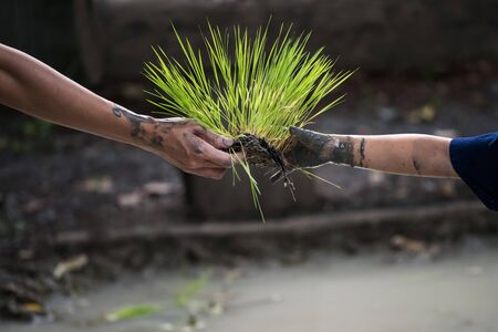 Mother farmer hand give seedlings rice grass to her child to plant into water farm. Family agriculture activity. cultivatation during rainy season in Thailand.