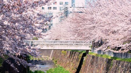 White bridge surround by pink cherry blossom or sakura flowers full bloom along Yamazaki River, Nagoya, Japan. Famous travel or sightseeing landmark to enjoy sakura during spring.