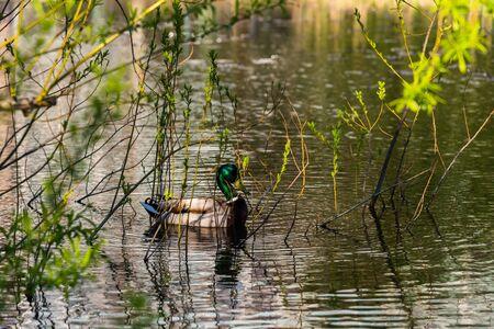 Wild duck swimming around marsh grass in a shallow lake in Sapporo, Hokkaido, Japan.