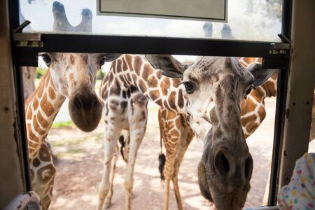 Many cute hungry giraffe wild animals waiting for food through bus window at the zoo. Adorable wildlife in tropical park.