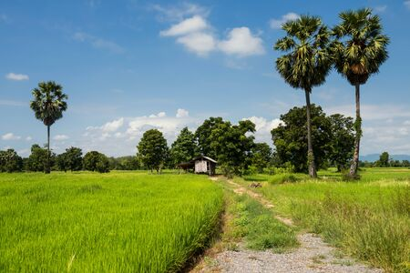 Asian paddy rice fields and farmer wooden hut with blue sky in rainy season cultivation, Kanchanaburi, Thailandy. farm agriculture industry concept. 写真素材