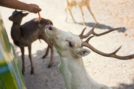 Kid hand feeding carrot to cute deer or reindeer from bus in safari zoo park.