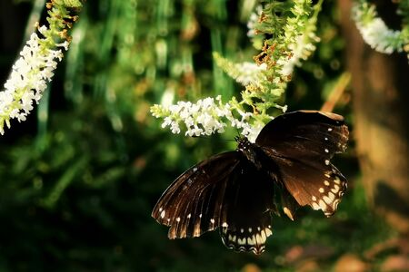 Eastern Black Swallowtail butterfly eating at white flower in summer garden with sunrise ligjt.