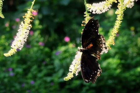 Eastern Black Swallowtail butterfly eating at white flower in summer garden