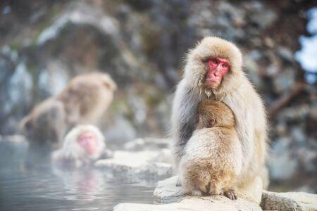 Japanese Snow monkey Macaque family at hot spring Onsen pond of Jigokudani Park, Yamanouchi, Nagano, Japan. Groupd of Wild animals during winter season. Reklamní fotografie