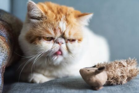 Adorable yellow Exotic shorthair cat look at fake artificial mouse or rat on gray sofa bed with copy space for text. Funny cute kitten animal in house or condo. Human best friend.