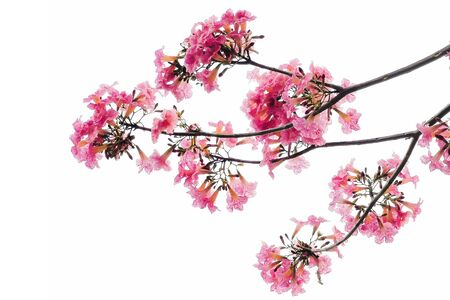 Closeup pink Tabebuia Rosea flower, aka Pink Poui,Pink Tecoma and Rosy Trumpet tree, blooming in spring season isolated on white with copy space for text. Thai cherry blossom or sakura.