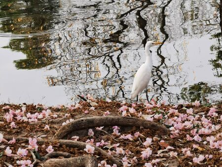 great white egret (Ardea alba) standing near pond with falling pink Tabebuia Rosea flower, aka Pink Poui,Pink Tecoma and Rosy Trumpet tree. Wild animal in nature. Archivio Fotografico