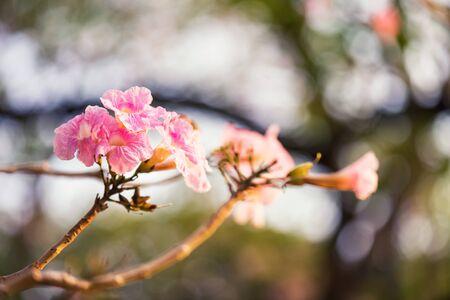 Tabebuia Rosea flower, aka Pink Poui Tecoma and Rosy Trumpet tree, Macro Thai cherry blossom or sakura with foliage light bokeh. Beauty in Nature. Archivio Fotografico