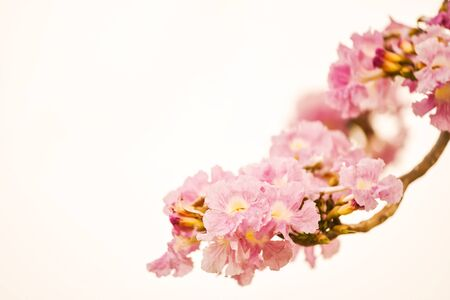 Closeup Tabebuia Rosea flower, aka Pink Poui, Pink Tecoma and Rosy Trumpet tree, Macro Thai cherry blossom or sakura in spring season isolated on white with copy space for text. Beauty in Nature.