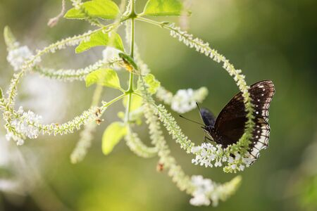 Wildlife portrait of black Egg fly butterfly eat flower plant pollen with soft green blur bokeh background. Wild animal in greenery spring garden with copy space for text. Stock Photo