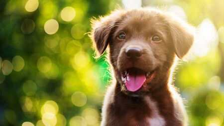 Portrait of Cute Brown nova scotia duck tolling or labrador retriever puppy against foliage sunset bokeh with copy space for text.