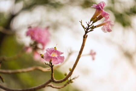 Tabebuia Rosea flower, aka Pink Poui Tecoma and Rosy Trumpet tree, Macro Thai cherry blossom or sakura in spring season in Rod Fai or Wachirabenchathat Park. Beauty in Nature.