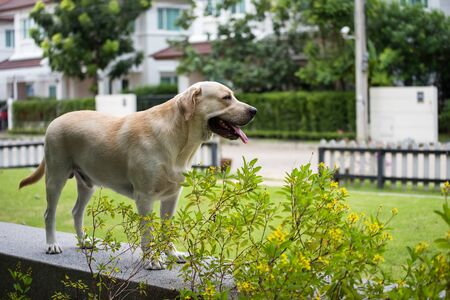 Adorable young creamy labrador retriever dog wait its owner to come back at field in front of house. Cute pet in home. Human best friend. Stok Fotoğraf