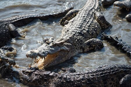 big crocodiles fighting on swamp pond in forest. Group of dangerous animal wildlife on water.