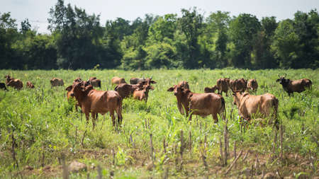 Group of cows stand and graze at local meadow of suburb of Kanchanaburi province, Thailand. Green grass and trees in natural Farm work. Background for agriculture industry.