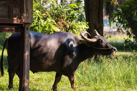 Asian big horn Thai water buffalo tied by rope at old wooden house with green trees background in rural village. Farm animal and agriculture concept.
