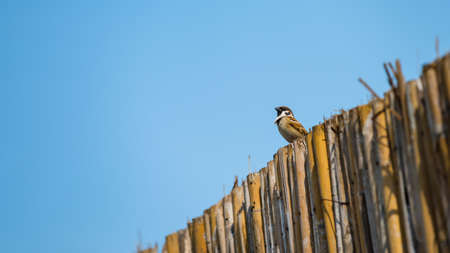 brown sparrow or warbler bird standing on bamboo wooden wall with blue sky background. poultry animal with copy space for text.