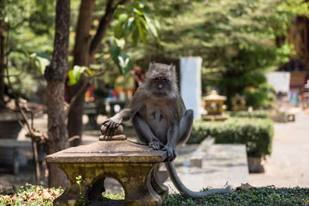 Gray brown female monkey look at camera in Tiger cave temple or Wat Tham Sua, Krabi, Thailand. Cute wild animal wait for food from tourist. wildlife portrait