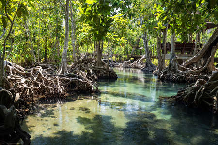 Natural travel landmark at Tha Pom Khlong Song Nam in Krabi, Thailand. Scenic landscape of beautiful mangrove forest and green water in Southern of Thai. Famous destination.