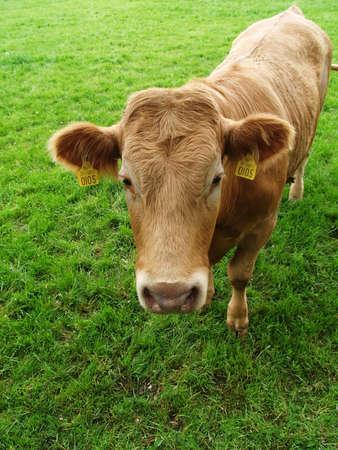 Curious Cow Reklamní fotografie