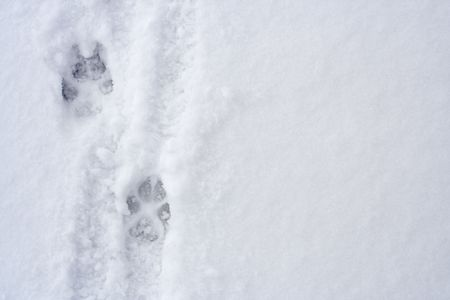 Animal footprints on snow photo