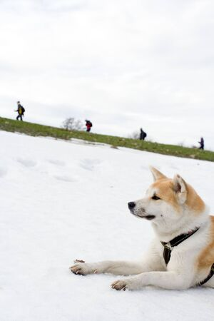 Akita dog on snow looking at hiking people on early spring in mountains photo