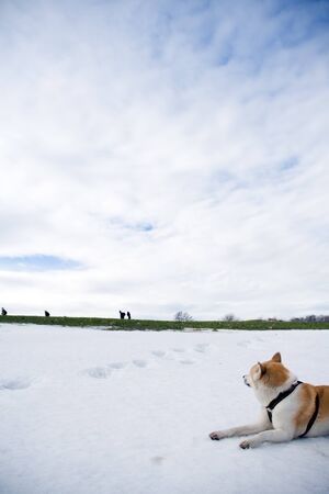 Japanese Akita dog looking after hiking people on early spring in mountains photo
