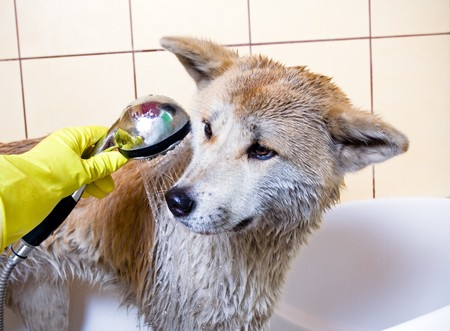 body grooming: Cleaning the dog, purebred Akita Inu in bath Stock Photo