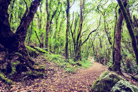 Trail through a beautiful landscape inspirational mysterious dark forest with green leaves. Spring morning magical fairytale atmosphere in La Gomera Canary Islands Spain.