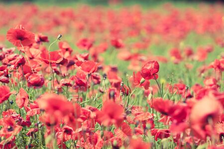 shallow depth of field: Poppy flowers retro vintage summer background shallow depth of field with red flowers over green background