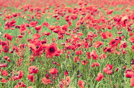 campo de flores: Poppy flowers retro vintage summer background, shallow depth of field with red flowers over colorful poppy field background