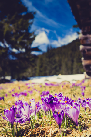 blooming  purple: Chocholowska valley, inspirational landscape Tatra Mountains, Poland. Beautiful crocus purple flowers blooming on sunny spring day, retro vintage style.