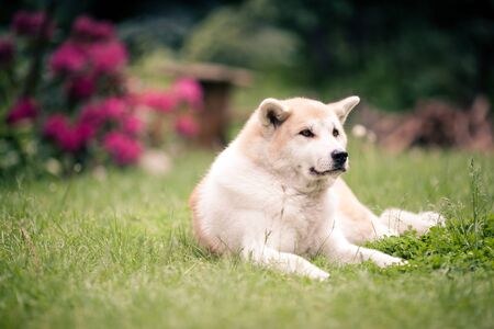 canine: Akita Inu beautiful dog relaxing on green grass outdoors, Japanese canine dog portrait Stock Photo